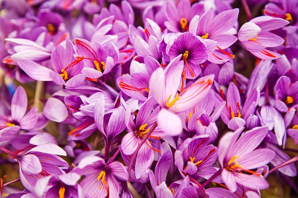 Nhụy hoa nghệ tây - hoàng đế của các loại gia vị có công dụng gì? 4