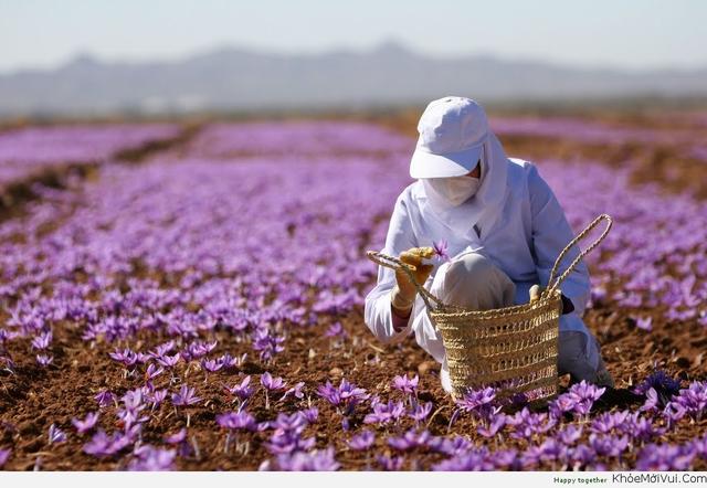 Nhụy hoa nghệ tây - hoàng đế của các loại gia vị có công dụng gì? 2