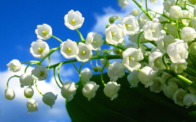Hoa linh lan dat nhat the gioi - Những loài hoa đắt nhất thế giới