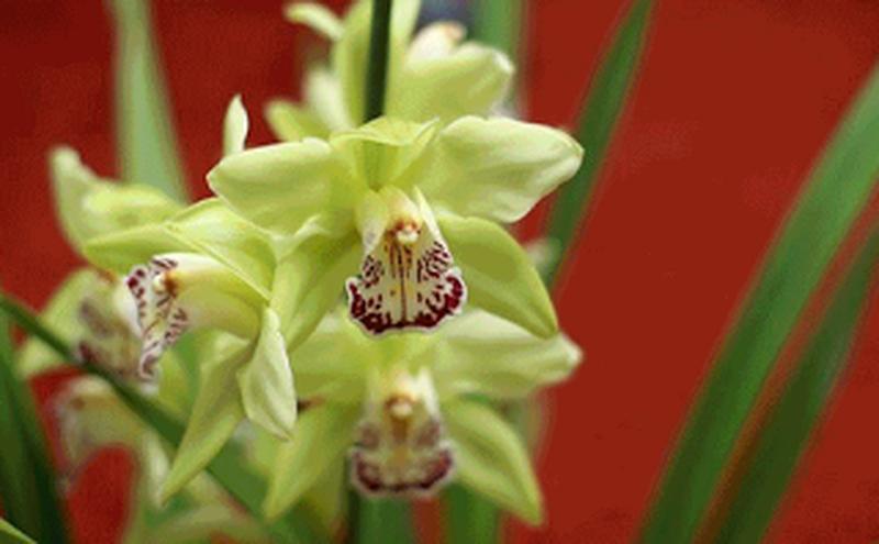 Hoa nongke tham quyen - Những loài hoa đắt nhất thế giới