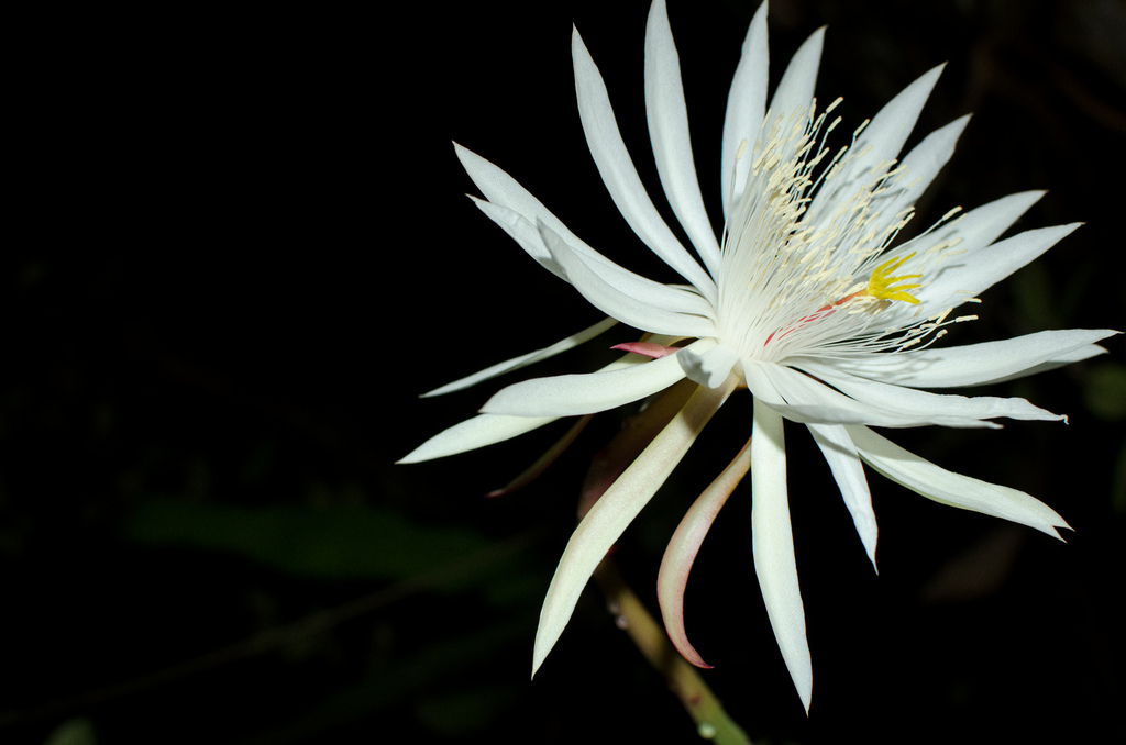 Kadapul loai hoa dat nhat the gioi - Những loài hoa đắt nhất thế giới