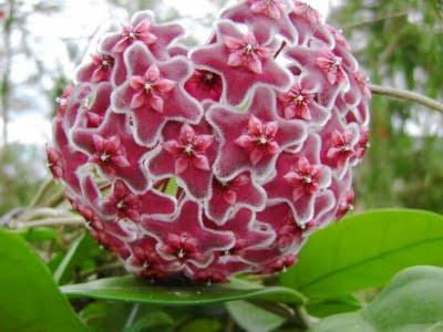 hinh anh hoa lan cam cu mau tim - Cây Lan Cẩm Cù Và Thông Tin Cần Thiết