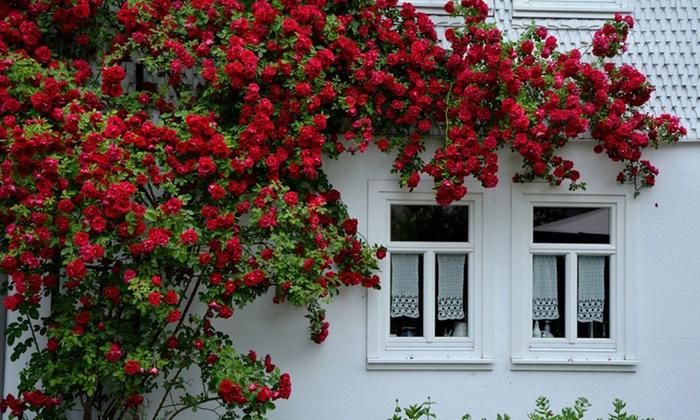 hoa hong le ly do trong hoa hong - Top 05 Lý Do Khiến Bạn Phải Chơi Hoa Hồng Ngay Lập Tức