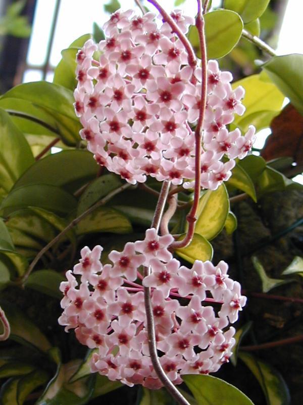 lan cam cu hoa nhu the nao - Cây Lan Cẩm Cù Và Thông Tin Cần Thiết