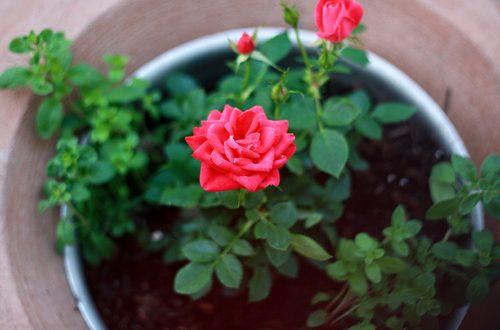 ly do ban nen chon trong hoa hng 500x330 - Top 05 Lý Do Khiến Bạn Phải Chơi Hoa Hồng Ngay Lập Tức