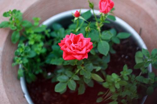 ly do ban nen chon trong hoa hng - Top 05 Lý Do Khiến Bạn Phải Chơi Hoa Hồng Ngay Lập Tức