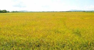 Top 10 Bài văn tả cánh đồng lúa chín hay nhất
