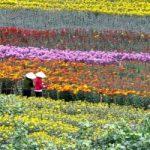 Top 10 Làng hoa nổi tiếng quanh Hà Nội
