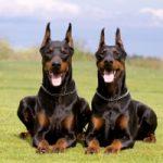 Top 10 Loài chó giữ nhà tốt nhất