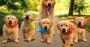 Top 9 Loài chó cảnh thông minh nhất thế giới